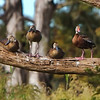 Whistling-Ducks<br /> Double B Ranch<br /> Hollywood, FL