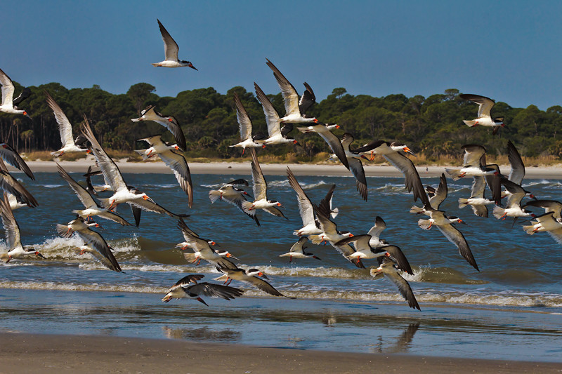 Skimmers #1<br /> Fripp Inlet<br /> Hunting Island, SC