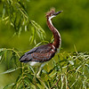 Juvenile Tricolored Heron<br /> Pinckney Island National Wildlife Refuge<br /> Hilton Head Island, SC