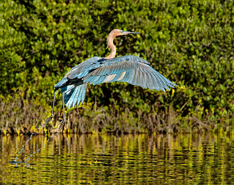 """3 -2- 1 Lift-Off!""<br /> Reddish Egret<br /> Dummitt's Cove<br /> Merritt Island National Wildlife Refuge<br /> Merritt Island, FL"