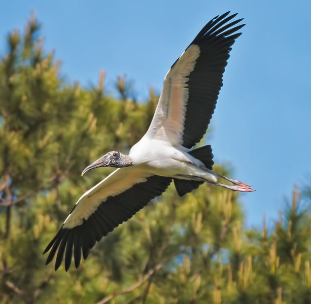 Wood Stork Flying #3<br /> Beaufort County, SC