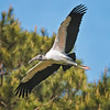 Wood Stork Flying #3<br /> Beaufort County, SC