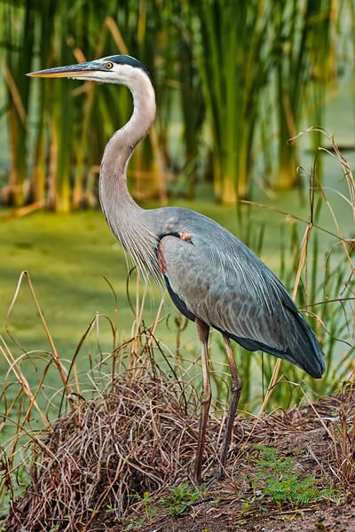 Great Blue Heron<br /> Pinckney Island National Wildlife Refuge<br /> Hilton Head Island, SC