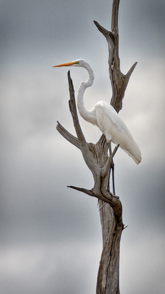 """Verticality""<br /> Great Egret<br /> Donnelley Wildlife Management Area<br /> Green Pond, SC"