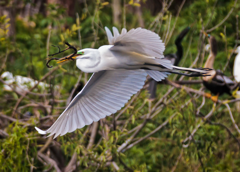 Great Egret gathering nest material #1<br /> Beaufort County, SC
