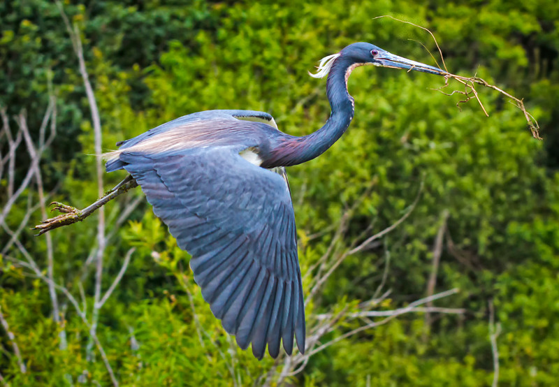 Tricolored Heron in breeding plumage hunting for nesting sticks #2<br /> Cypress Wetlands<br /> Port Royal, SC