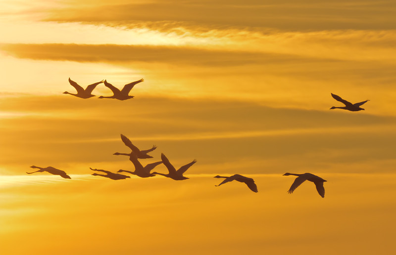 """Sunrise Silhouette""<br /> Tundra Swans<br /> Bear Island Wildlife Management Area<br /> Green Pond, SC"