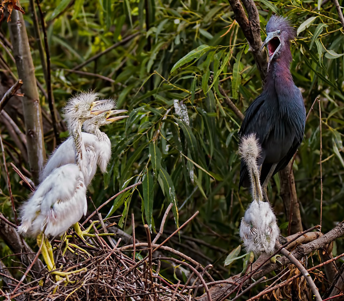 """A Good Scolding""<br /> Little Blue Heron and her Chicks<br /> Pinckney Island National Wildlife Refuge<br /> Hilton Head Island, SC"