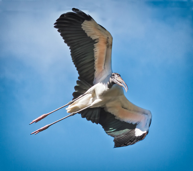 Wood Stork Flying #2<br /> Beaufort County, SC