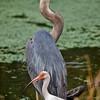 """Friends""<br /> Great Blue Heron & Ibis<br /> Pinckney Island National Wildlife Refuge<br /> Hilton Head Island, SC"