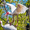 Ibis #8<br /> Pinckney Island National Wildlife Refuge<br /> Hilton Head Island, SC