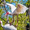 Ibis #8<br /> Pinckney Island National Wildlife Refuge<br /> Hilton Head Island, SC