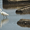 Snowy Egret Feeding<br /> Donnelley Wildlife Management Area<br /> Green Pond, SC