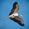 Wood Stork Flying #1<br /> Beaufort County, SC