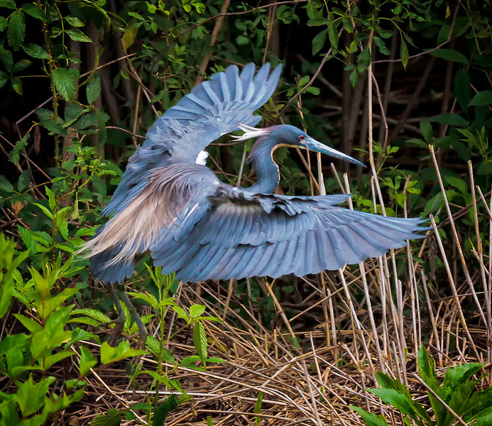 Tricolored Heron in breeding plumage hunting for nesting sticks #3<br /> Cypress Wetlands<br /> Port Royal, SC