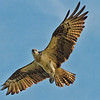 """I See You""<br /> Osprey<br /> Pinckney Island National Wildlife Refuge<br /> Hilton Head Island, SC"