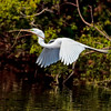 Great Egret gathering nest material #2<br /> Beaufort County, SC