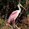 Roseate Spoonbill<br /> Haulover Rookery<br /> Merritt Island National Wildlife Refuge<br /> Merritt Island, FL