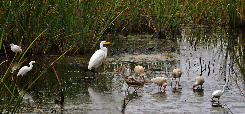 """The Gathering""<br /> Great Egret, Snowy Egrets, Ibis, Glossy Ibis, Juvenile Ibis, & Tricolored Heron <br /> Savannah National Wildlife Refuge<br /> Jasper County, SC"
