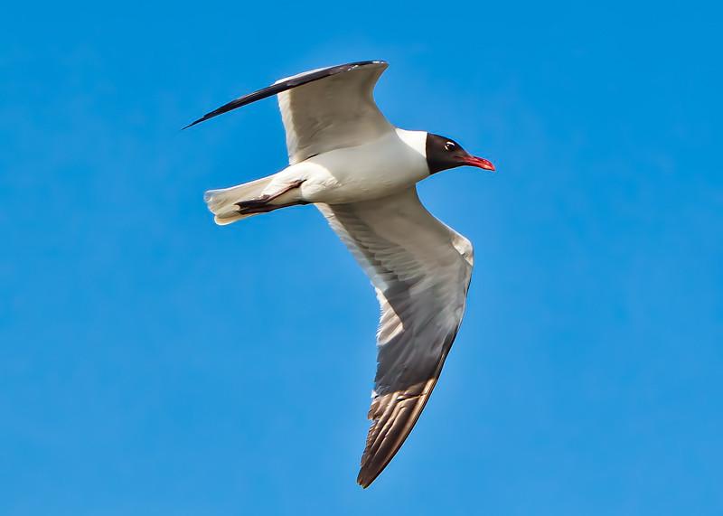 """Jonathan Livingston Seagull""<br /> Laughing Gull in Breeding Plumage<br /> Charleston Harbor<br /> Charleston, SC"