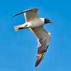 """Jonathan Livingston Seagull""<br /> Laughing Gull in Breeding Plumage<br /> Charleston Harbor<br /> Charleston, SC"