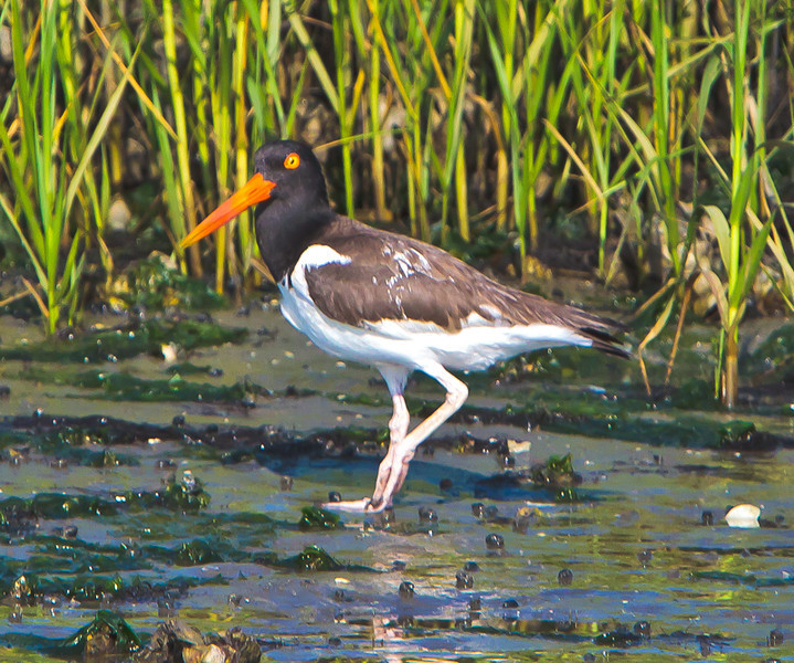 Oyster Catcher<br /> Charleston Harbor<br /> Charleston, SC