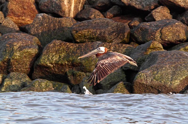 """Solo Flight""<br /> Brown Pelican<br /> Castle Pinckney<br /> Charleston Harbor<br /> Charleston, SC"