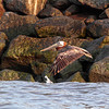"""Solo Flight""<br /> Brown Pelican<br /> Castle Pinckney<br /> Charleston Harbor<br /> Charleston, SC"
