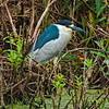 Black-crowned Night Heron #2<br /> Pinckney Island National Wildlife Refuge<br /> Hilton Head Island, SC