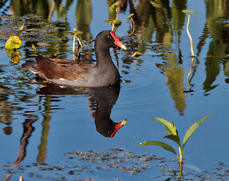 Moorhen<br /> Double B Ranch<br /> Hollywood, FL