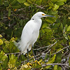 """Pose""<br /> Snowy Egret<br /> Black Point Nature Drive<br /> Merritt Island National Wildlife Refuge<br /> Merritt Island, FL"