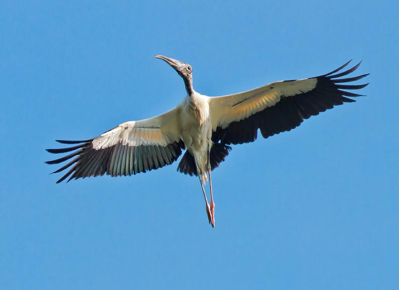 Wood Stork #2<br /> Donnelley Wildlife Management Area<br /> Green Pond, SC