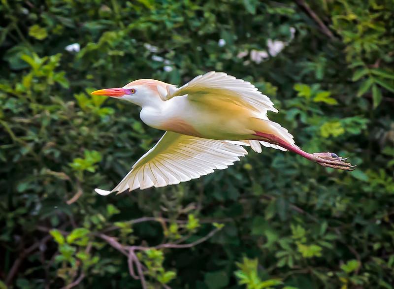 Cattle Egret in breeding plumage #2<br /> Cypress Wetlands<br /> Port Royal, SC