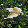 Cattle Egret in breeding plumage #2<br /> Cypress Wetlands<br /> Port Royal, SC