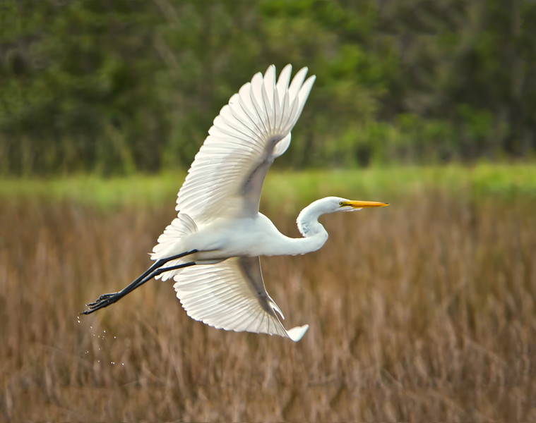 """Graceful Flight""<br /> Great Egret<br /> Black Point Nature Drive<br /> Merritt Island National Wildlife Refuge<br /> Merritt Island, FL"