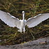 """Wingspan""<br /> Snowy Egret<br /> Shem Creek<br /> Mt. Pleasant, SC"