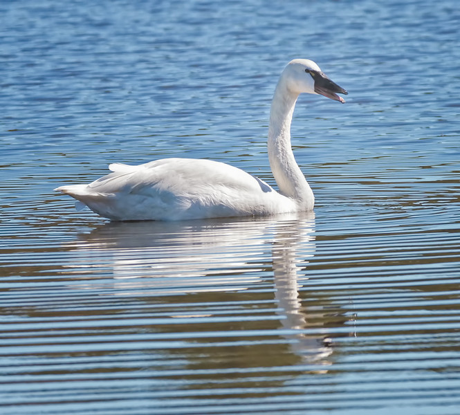 Tundra Swan<br /> Bear Island Wildlife Management Area<br /> Green Pond, SC