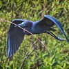 Little Blue Heron in breeding plumage hunting for nesting sticks #1<br /> Cypress Wetlands<br /> Port Royal, SC