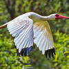 Ibis #6<br /> Pinckney Island National Wildlife Refuge<br /> Hilton Head Island, SC