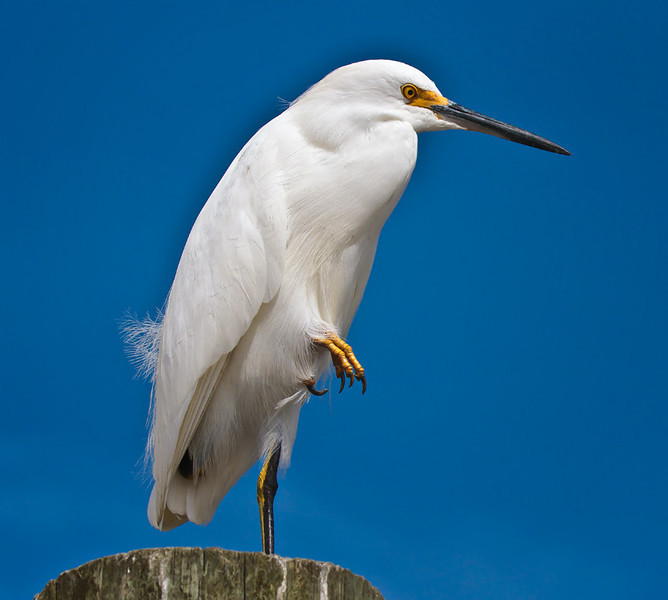 Snowy Egret<br /> Shem Creek<br /> Mt. Pleasant, SC