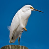 Snowy Egret<br /> Shem Creek<br /> Mt. Pleasant, SC
