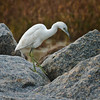 Juvenile Little Blue Heron<br /> Fish Haul Creek Park<br /> Hilton Head Island, SC