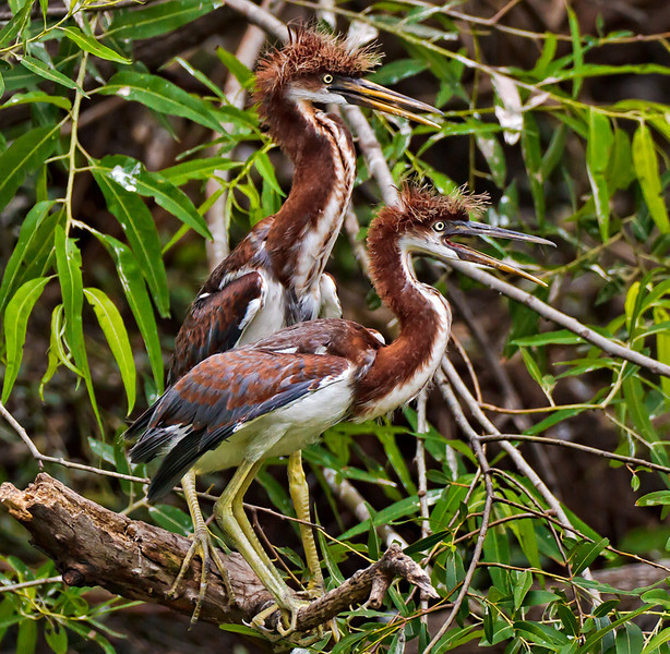 """Siblings""<br /> Juvenile Tricolored Herons<br /> Pinckney Island National Wildlife Refuge<br /> Hilton Head Island, SC"