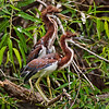 """Siblings""<br /> Juvenile Tricolored Herons<br /> Pinckney Island National Wildlife Refuge<br /> Hilton Head Island, SC"