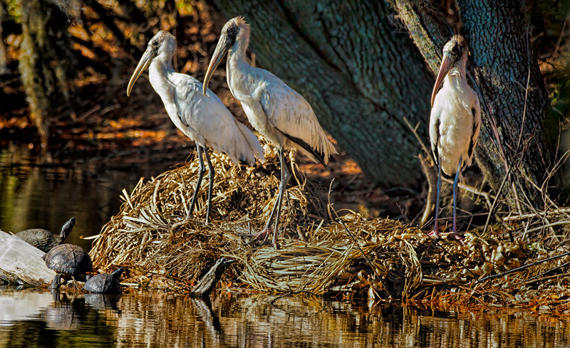 Woodstorks & Turtles<br /> Technical College of the Lowcountry<br /> Beaufort, SC