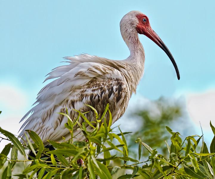 Juvenile Ibis #1<br /> Pinckney Island National Wildlife Refuge<br /> Hilton Head Island, SC