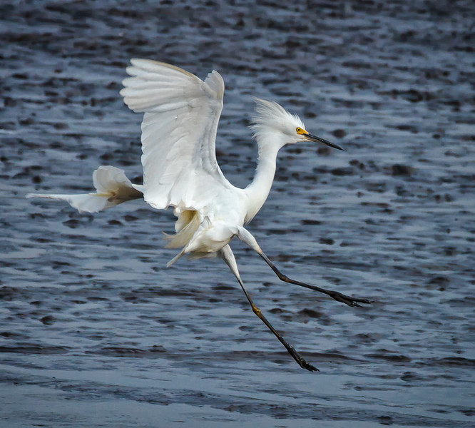Snowy Egret Coming in for a Landing<br /> Donnelley Wildlife Management Area<br /> Green Pond, SC