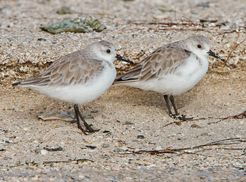 """The Couple""<br /> Juvenile Sanderlings<br /> Haulover Rookery<br /> Merritt Island National Wildlife Refuge<br /> Merritt Island, FL"