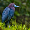 Little Blue Heron #3<br /> Lady's Island, SC