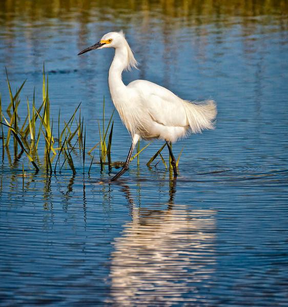 """""""Prancing""""<br /> Snowy Egret<br /> Fish Haul Creek Park<br /> Hilton Head Island, SC"""